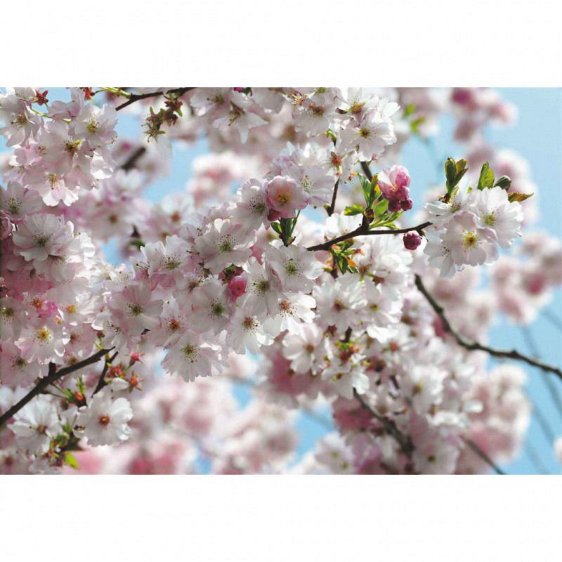 Fototapete Kirschblüten