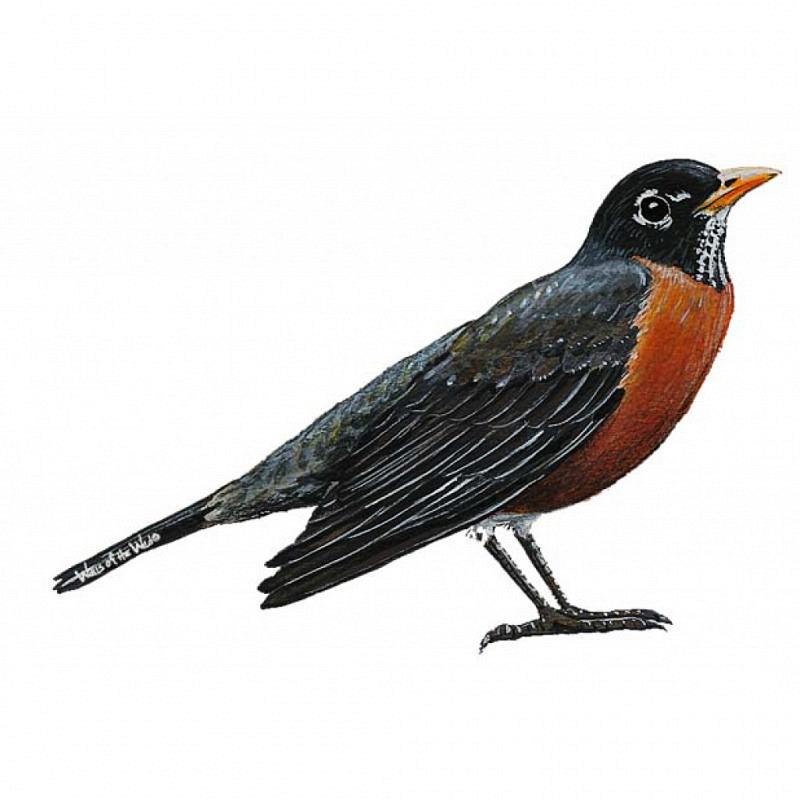 Wandsticker Rotkehlchen Vogel