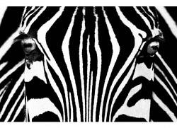 Wandbild Poster Zebra Schwarz und Weiß