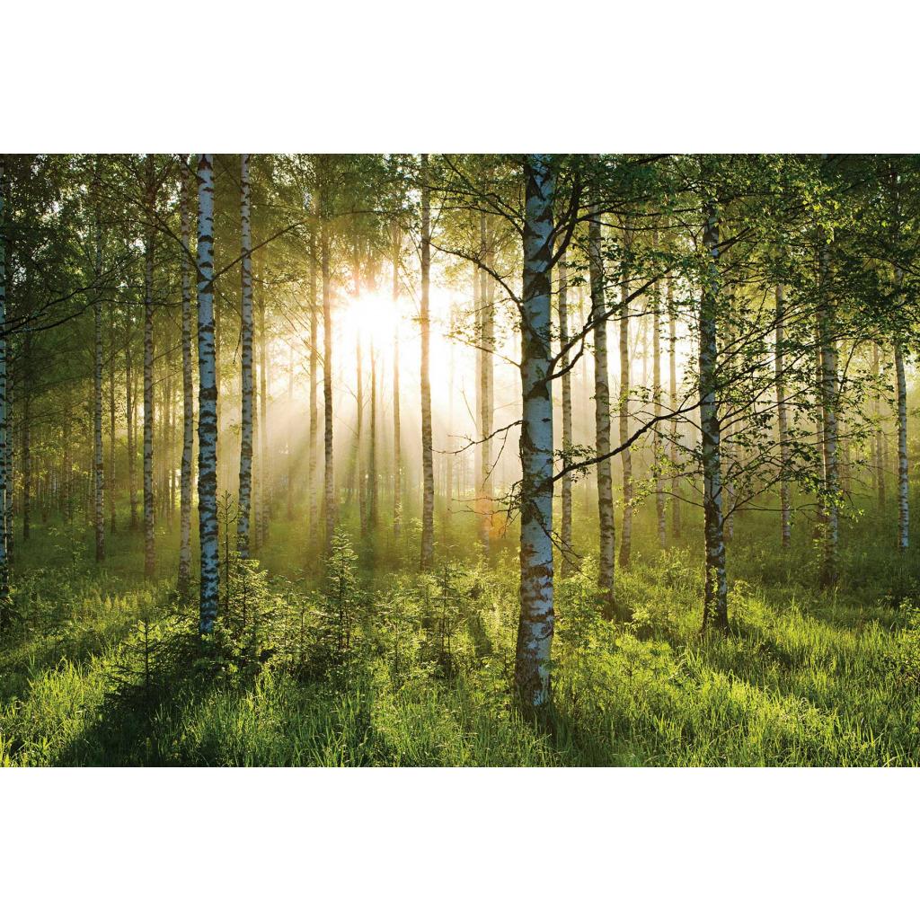 fototapete waldspaziergang birkenwald riesen wandbild www 4. Black Bedroom Furniture Sets. Home Design Ideas