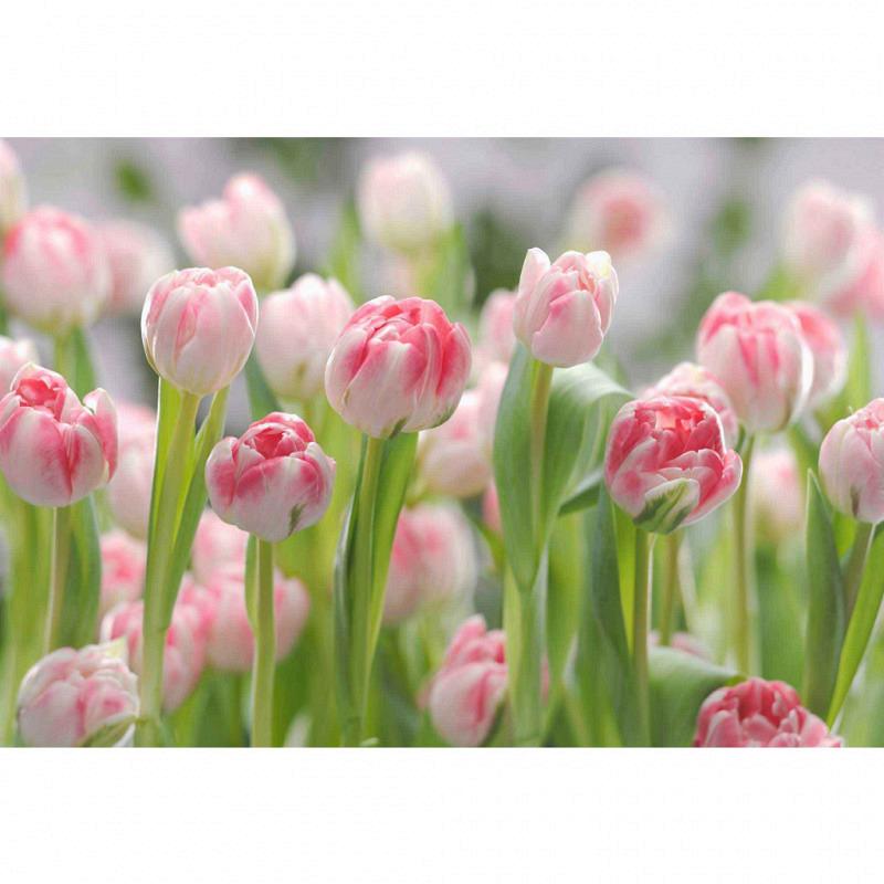 Fototapete Tulpen aus Amsterdam