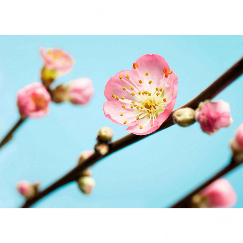 Vlies Fototapete Pfirsichblüte