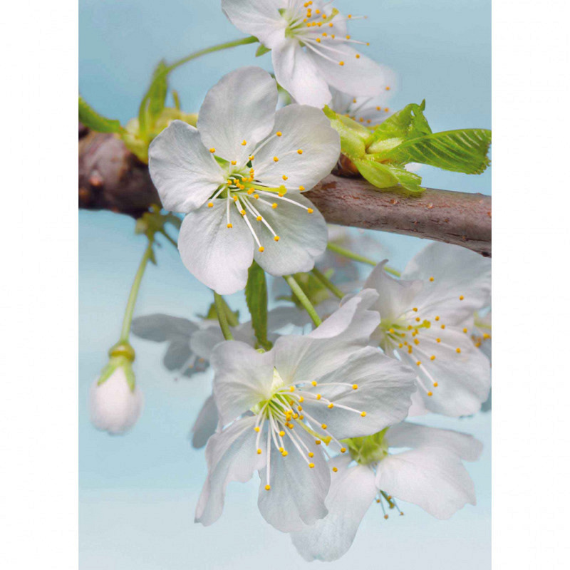 Vlies Fototapete Apfelblüte