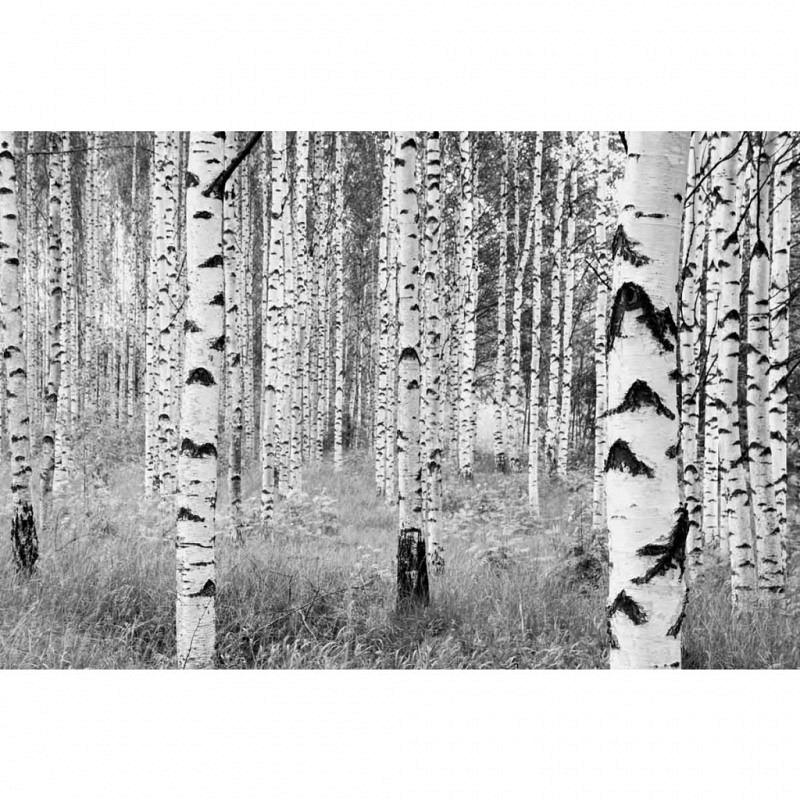 Vlies Fototapete Birkenstämme Wald