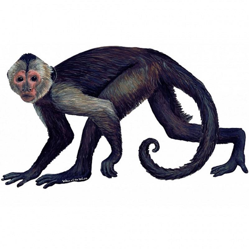 Wandsticker Regenwald Affe Kapuzineräffchen