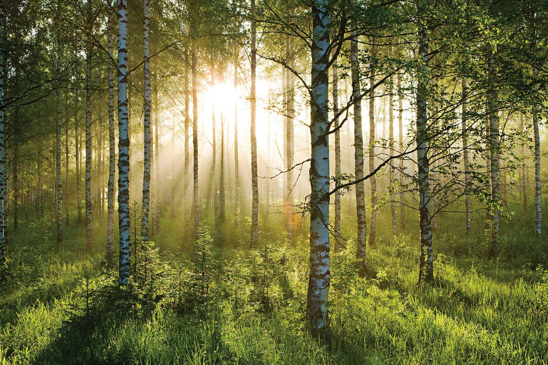 Riesen Wandbild Fototapete Poster Waldspaziergang Birkenwald Wohnzimmer ...