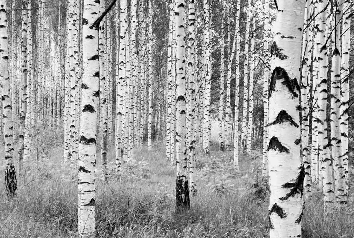 Lieblich Vlies Fototapete Birkenstämme Wald Vlies Fototapete Birkenstämme Wald Flur